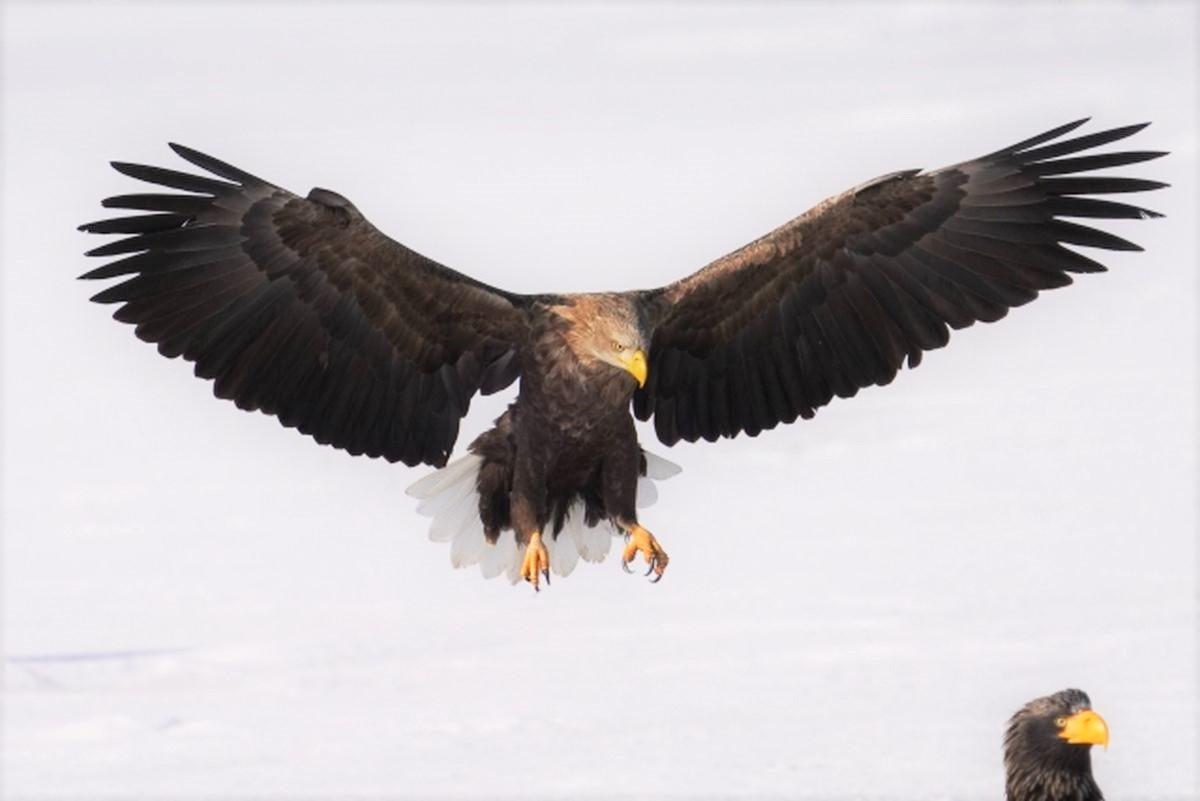 鷹の狩りをする飛行