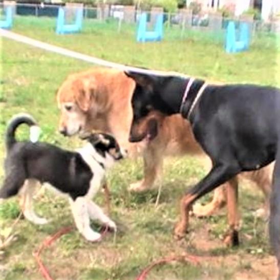 ドーベルマンが小型犬と遊ぶ