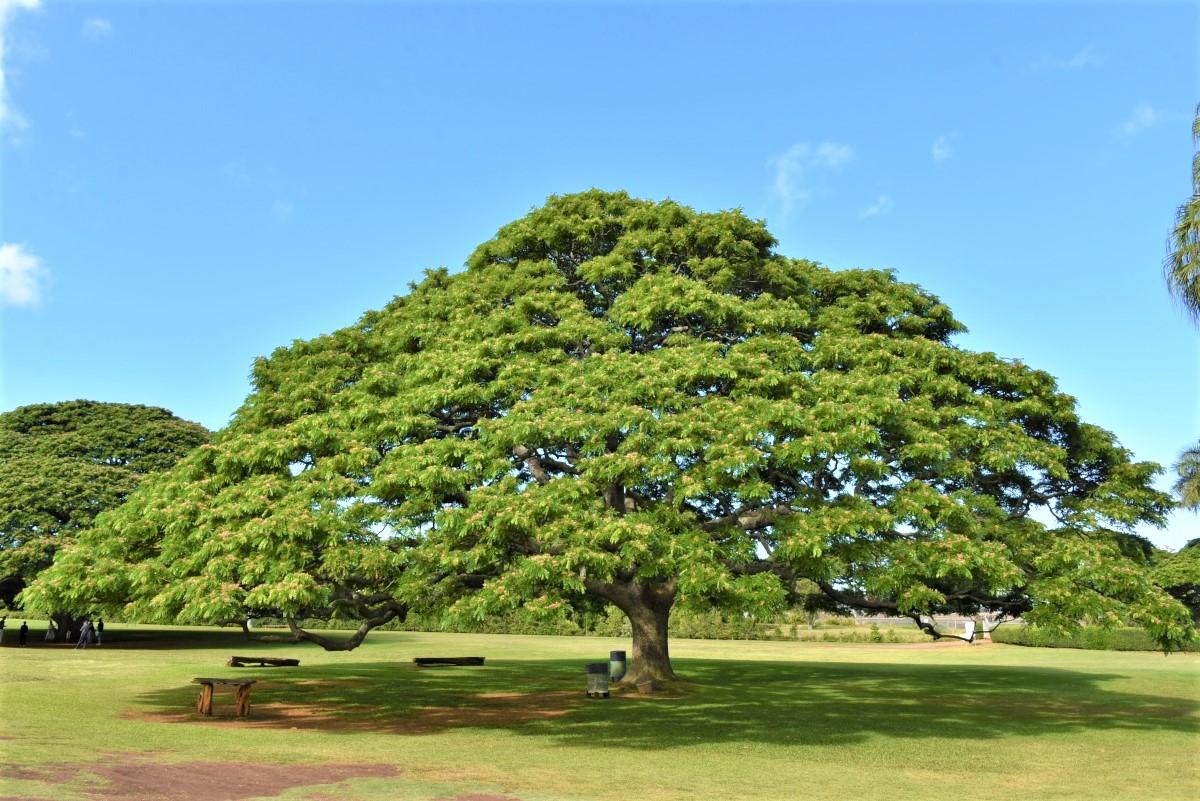 この木なんの木,モアナルア・ガーデンパークの日立の樹,モンキーポッド