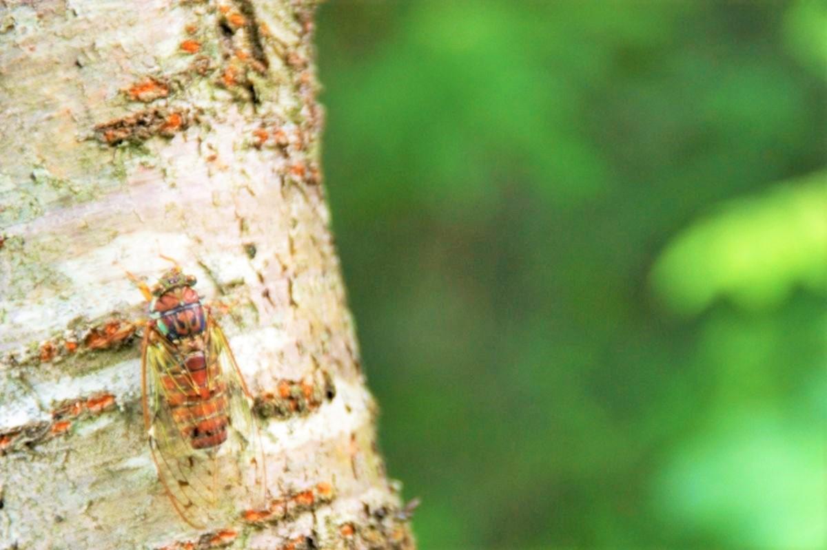ヒグラシが木に止まって鳴いているイメージ