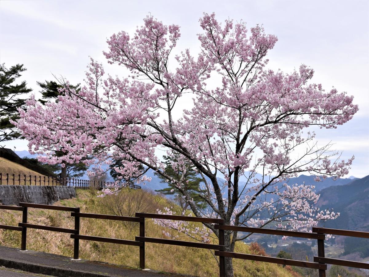 国見ケ丘の桜