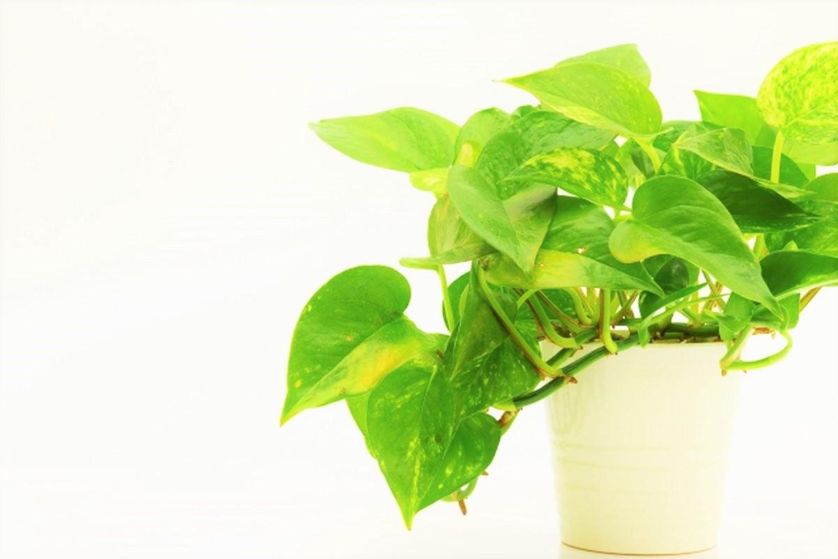 観葉植物のポトス