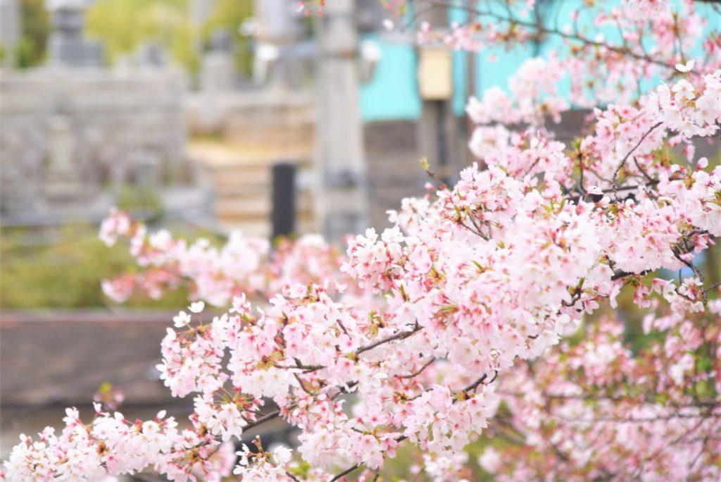 右上がりの桜