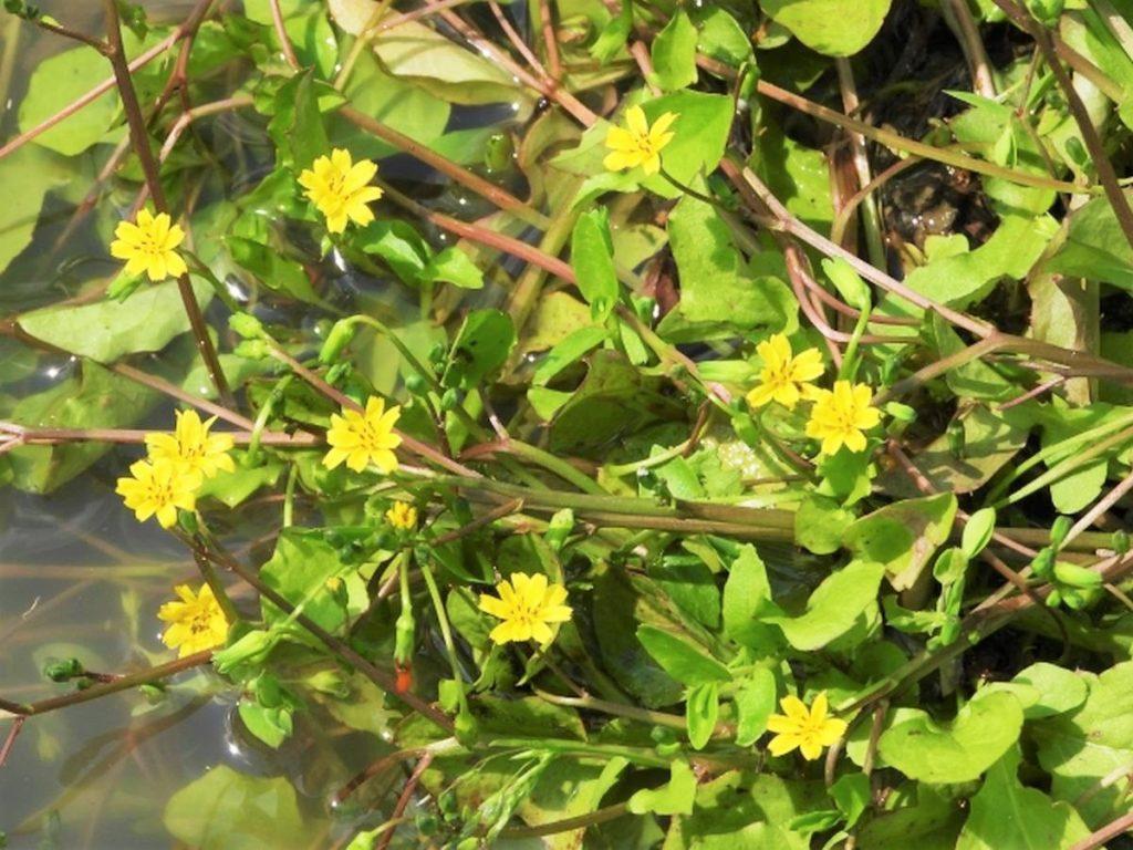 春の七草の1つ、ホトケノザ(コオニタビラコ)
