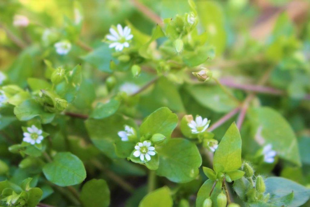 春の七草の1つ、ハコベラ